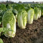 Выращивание пекинской капусты: все секреты урожая