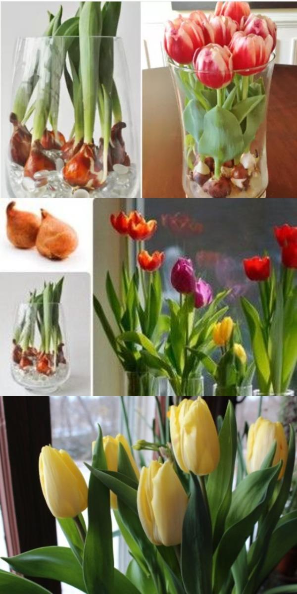 Цветущие тюльпаны круглый год! Секрет вот как можно вырастить тюльпаны совсем без земли