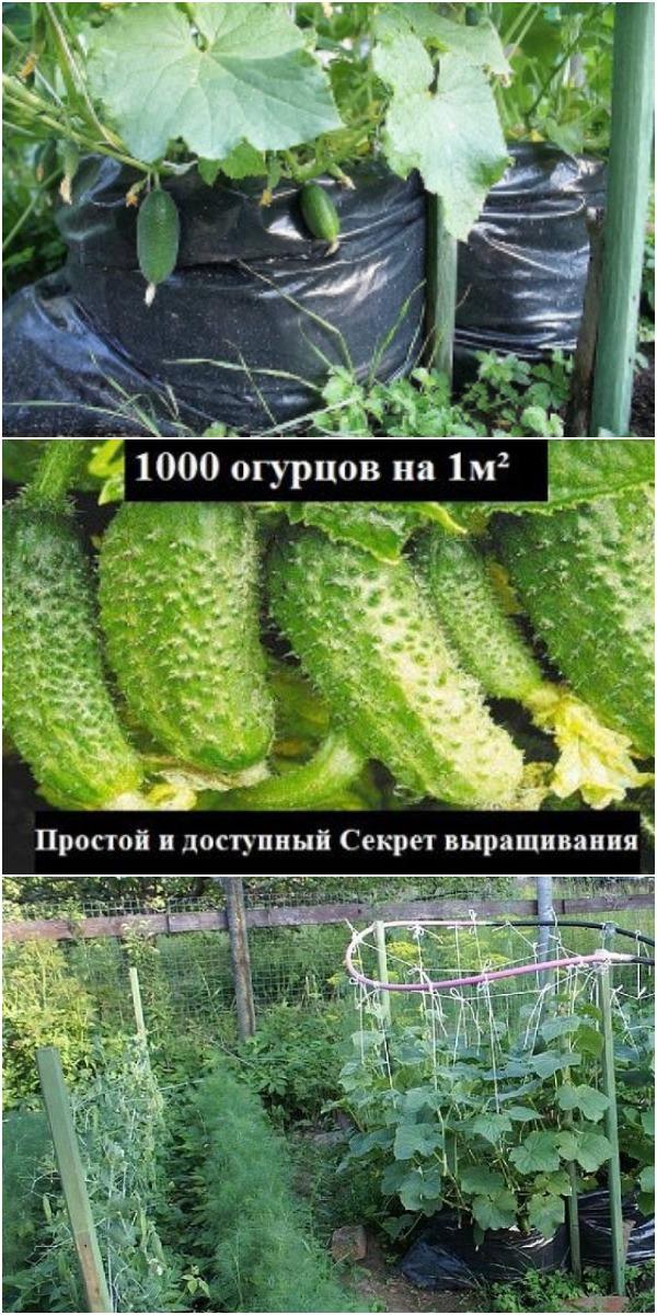 1000 ОГУРЦОВ НА ОДНОМ КВАДРАТНОМ МЕТРЕ — ОГУРЦЫ ИЗ МЕШКА