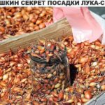Бабушкин секрет посадки лука-севка